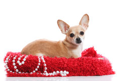 Perfection. Portrait of a pampered chihuahua Stock Images