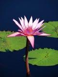 Perfectionnez le lotus Image libre de droits