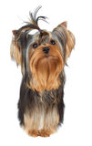 Perfectly groomed puppy Royalty Free Stock Photo