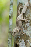 Perfectly masked mossy leaf-tailed gecko. Uroplatus sikorae, species of gecko with the ability to change its skin color to match its surroundings. Andasibe royalty free stock photos