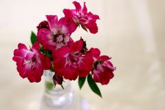 Perfectly Pink Roses. In a glass vase brighten the day for you, a friend or a co-worker stock image