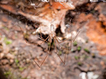 Perfectly posed daddy longlegs spider Stock Photo