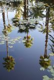 Palm trees reflected in a pond with waterlilies and goldfish stock image