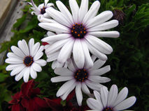 Perfectly white daisies. With purple center in a garden Stock Photos