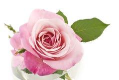 Perfeição cor-de-rosa de Rosa Foto de Stock Royalty Free