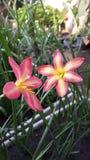 perfeição cor-de-rosa dos zephyranthes fotografia de stock