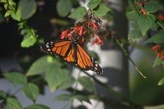 Perfekt övre nära Milkweedfjäril för bild i en trädgård royaltyfri fotografi