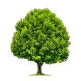 Perfekt askaträd som isoleras på vit Royaltyfri Bild