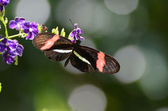 Perfekt brevbärarefjäril för bild på små blommor för en lila arkivbilder