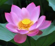 Perfekt lotusblomma Arkivfoton