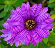 Perfekt purpurfärgad tusensköna Royaltyfria Foton