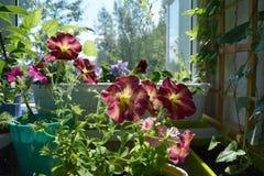 Perfekt trädgård på balkongen med att blomma petunior Dekorativt göra grön med blommor i krukor arkivfoton