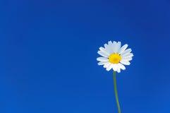 Perfekt tusenskönablomma mot enhetlig blå himmel, tillgänglig copyspace Royaltyfri Fotografi