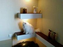 Perfekt vit katt Arkivbilder