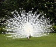 perfekt white för lawnpåfågel Arkivfoton