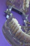 perfekta tänder Arkivbild