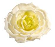 Perfekte empfindliche frische weiße und gelbe Rose Stockbild