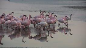 Perfekte Reflexion von Flamingos im See Nakuru stock footage