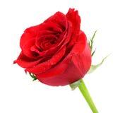 Perfekte rote Rose Stockfotografie