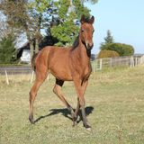 Perfektes arabisches Pferdefohlen, das auf Weide läuft Lizenzfreie Stockbilder