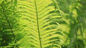 Perfektes natürliches Farnmuster Der schöne Hintergrund, der mit jungem grünem Farn gemacht wird, verlässt stock video footage