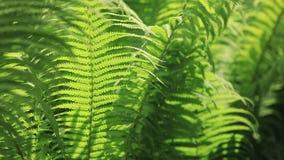 Perfektes natürliches Farnmuster Der schöne Hintergrund, der mit jungem grünem Farn gemacht wird, verlässt stock video