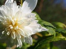 Perfektion för natur` som s ses i denna härliga vita blomma royaltyfri foto