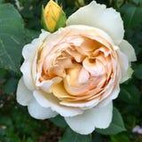 Perfezioni di rosa Immagine Stock