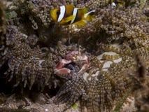 Perfezioni la simbiosi subacquea fra i clownfish, il granchio della porcellana e l'anemone, Mozambico, Africa Fotografia Stock Libera da Diritti