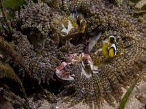 Perfezioni la simbiosi subacquea fra i clownfish, il granchio della porcellana e l'anemone, Mozambico, Africa Fotografia Stock