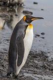 Perfil adulto de rey Penguin Foto de archivo
