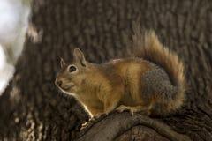 Perfil ascendente próximo de um Sciurus Anomalus, esquilo caucasiano em um tronco de pinheiro imagens de stock