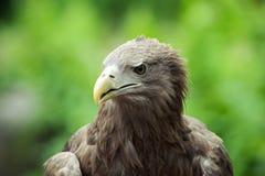 Perfil atado blanco del águila Imagenes de archivo