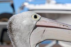 Perfil australiano selvagem da cabeça do close up do pelicano Imagem de Stock Royalty Free