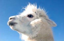 Perfil blanco de la cabeza de la alpaca contra el cielo azul claro imagen de archivo libre de regalías