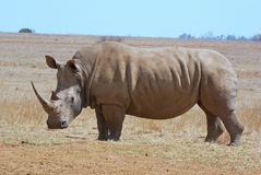 Perfil branco africano do lado do rinoceronte Fotos de Stock Royalty Free