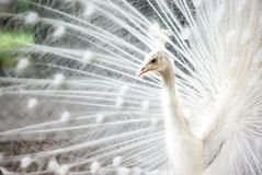 Perfil branco do pavão Fotos de Stock Royalty Free