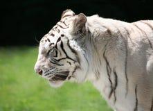 Perfil branco do tigre Fotografia de Stock