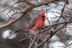 Perfil cardinal coroado carnudo do inverno imagens de stock