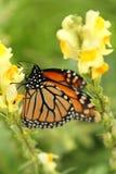 Perfil cercano de la mariposa de monarca que bebe de wildflower amarillo Imagenes de archivo