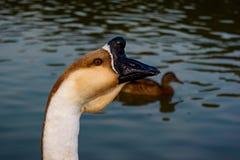 Perfil chino del ganso del cisne del cuello principal Imagen de archivo