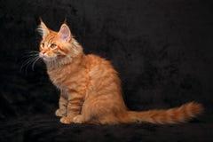Perfil contínuo vermelho adorável do gatinho do racum de maine que senta-se com t longo Foto de Stock