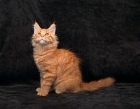 Perfil contínuo vermelho do gatinho do racum de maine do divertimento adorável que senta-se com lo Fotografia de Stock