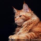 Perfil contínuo vermelho fêmea do gato de racum de maine com escovas bonitas o Fotografia de Stock