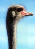 Perfil curioso da avestruz na exploração agrícola Oudtshoorn da mostra Fotografia de Stock