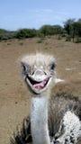 Perfil da avestruz fotos de stock