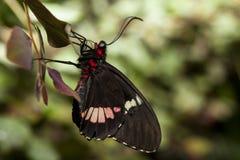 Perfil da borboleta de Cattleheart Imagem de Stock Royalty Free