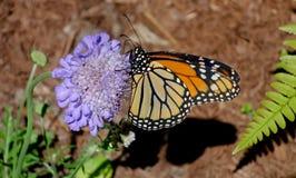 Perfil da borboleta de monarca na flor roxa fotografia de stock