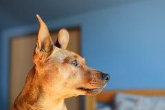 Perfil da cabeça de cão de Brown imagens de stock royalty free