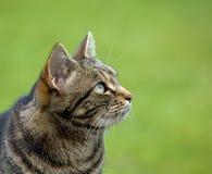 Perfil da cabeça do gato de Tabby Fotos de Stock Royalty Free